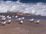 Cape Canaveral Royal Terns, Florida, USA Photographic Print by Dee Ann Pederson