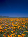 Poppies and Gilia Purple, Antelope Valley, California, USA Photographic Print by Terry Eggers