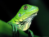 Green Iguana, Borro Colorado Island, Panama Photographic Print by Christian Ziegler