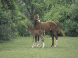 Arabian Mare and Colt, Oldham County, Kentucky, USA Photographic Print by Adam Jones