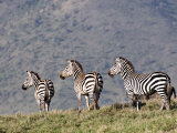 Three Zebras Watch a Lion Approach, Tanzania Photographic Print by Charles Sleicher