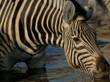 Burchell's Zebra, Linyanti and Savuti Areas, Botswana Photographic Print by Pete Oxford