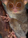 Tarsier, Philippines Photographic Print by Art Wolfe