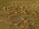 Impala, Okavango Delta, Botswana Photographic Print by Pete Oxford