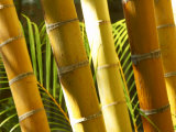 Bamboo Stems, Queensland Australia Photographic Print by David Wall