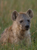 Spotted Hyena, Mombo Area, Chief's Island, Okavango Delta, Botswana Photographic Print by Pete Oxford