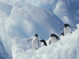 Adelie Penguins, Antarctica Photographic Print by Art Wolfe