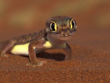 Web-footed Gecko, Namib National Park, Namibia Photographic Print by Art Wolfe