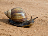 Giant African Land Snail, Tanzania Photographic Print by Charles Sleicher