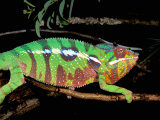 Chameleon, Ankarana Special Reserve, Madagascar Photographic Print by Pete Oxford