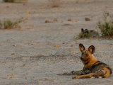 Wild Dog or Painted Wolf, Savuti Channel, Linyanti Region, Botswana Photographic Print by Pete Oxford