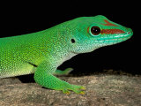 Day Gecko, Ankarana Special Reserve, Madagascar Photographic Print by Pete Oxford