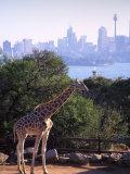 Giraffe, Taronga Zoo, Sydney, Australia Photographic Print by David Wall
