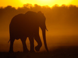 African Elephant at Sunset, Makalolo Plains, Hwange National Park, Zimbabwe Photographic Print by Pete Oxford