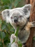 Koala, Australia Photographic Print by David Wall