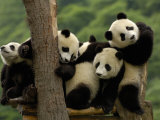 Giant Panda Babies, Wolong China Conservation and Research Center for the Giant Panda, China Fotoprint van Pete Oxford