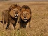 Lions, Duba Pride Males, Duba Plains, Okavango Delta, Botswana Photographic Print by Pete Oxford