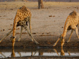 Giraffe Drinking at a Waterhole in Makalolo Plains, Hwange National Park, Zimbabwe Photographic Print by Pete Oxford
