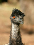 Emu, Australia Photographic Print by David Wall