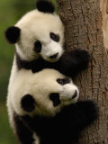 Giant Panda Babies, Wolong China Conservation and Research Center for the Giant Panda, China Photographic Print by Pete Oxford