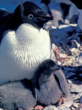 Adelie Penguin on Nest with Chick, Antarctica Photographic Print by Art Wolfe