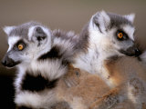 Ring-tailed Lemurs, Berenty Private Reserve, Madagascar Photographic Print by Pete Oxford