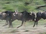 Wildebeest, Tanzania Photographic Print by Charles Sleicher