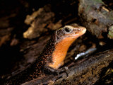 Cordylid Lizard, Ankarana Special Reserve, Madagascar Photographic Print by Pete Oxford