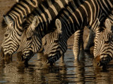 Burchell's Zebra, Mombo Area of Chief's Island, Okavango Delta, Botswana Photographic Print by Pete Oxford