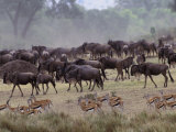 Herds of Gazelle, Zebra, Wildebeest, Topi, Masai Mara Game Reserve, Kenya Photographic Print by Art Wolfe