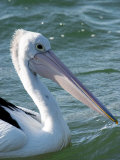 Australian Pelican, Australia Photographic Print by David Wall