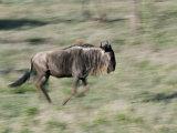 Wildebeest Running, Tanzania Photographic Print by Charles Sleicher