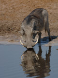Warthog, Savuti Channal, Botswana Photographic Print by Pete Oxford