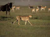 Cheetah, Masai Mara Game Reserve, Kenya Photographic Print by Art Wolfe