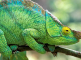 Parson's Chameleon, La Madraka Farm, Madagascar Photographic Print by Pete Oxford