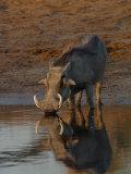 Warthog, Savuti Channal, Botswana Photographic Print by Pete Oxford