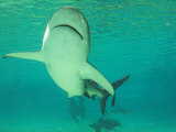 Shark, Sea World, Gold Coast, Queensland, Australia Photographic Print by David Wall