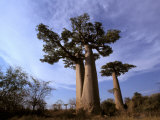 Baobab, Western Dry Forest, Morondava, Madagascar Photographic Print by Pete Oxford