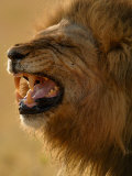 Lion Snarling, Mombo Area, Chief's Island, Okavango Delta, Botswana Photographic Print by Pete Oxford