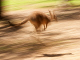 Grey Kangaroo, Australia Photographic Print by David Wall