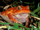 Tomato Frog, Madagascar Photographic Print by Pete Oxford