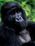 Mountain Gorilla, Virunga Volcanoes National Park, Rwanda Fotografie-Druck von Art Wolfe