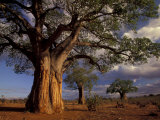 Baobab Trees, Tarangire National Park, Tanzania Fotografie-Druck von Art Wolfe