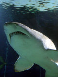 Shark at Manly Aquarium, Sydney, Australia Photographic Print by David Wall