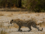 Leopard Female Stalking, Mombo Area, Chief's Island, Okavango Delta, Botswana Photographic Print by Pete Oxford