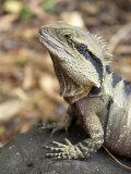 Eastern Water Dragon, Australia Photographic Print by David Wall