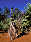 Ring-tailed Lemur, Berenty Reserve, Madagascar Photographic Print by Pete Oxford
