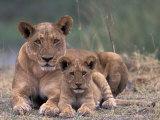 Lions, Okavango Delta, Botswana Photographic Print by Art Wolfe