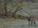 Side-striped Jackal Pup, Mombo Area, Chief's Island, Okavango Delta, Botswana Photographic Print by Pete Oxford