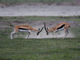 Thomson&#39;s Gazelles Fighting, Tanzania Photographic Print by Charles Sleicher